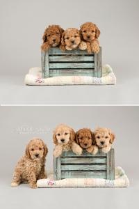 "alt=""cockapoo puppies for sale in ontario"""